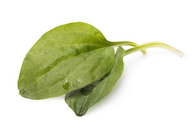 Deux feuilles de plantain isolé sur fond blanc