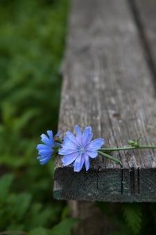 Deux fleurs de chicorée sur un vieux banc en bois