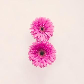 Deux fleurs de gerbera rose sur un tableau blanc