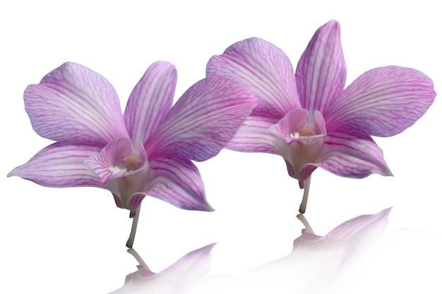 Deux fleurs d'orchidées placées sur un fond blanc avec un tracé de détourage et laissent de l'espace.