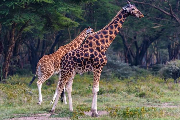 Deux girafes sur près de la forêt
