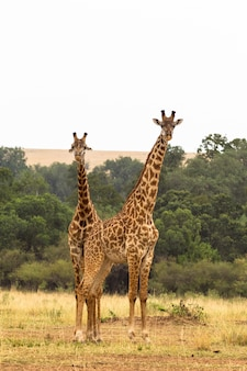 Deux girafes savanna de maasai mara kenya