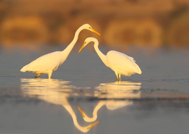 Deux grands héron blanc sur l'eau tôt le matin.