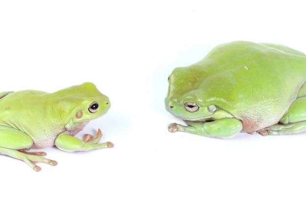 Deux grenouilles vertes