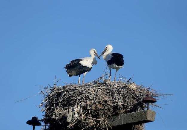 Deux gros poussins de la cigogne blanche sont en gros plan dans le nid. les angles et les poses inhabituels des poussins sont très attrayants et exotiques.