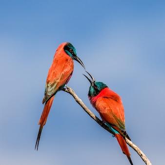 Deux guêpiers carmin sont assis sur une branche contre le ciel bleu
