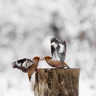 Deux hawfinch (coccothraustes coccothraustes) se battent à la mangeoire.