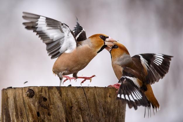 Deux hawfinch se battent à la mangeoire.