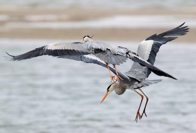Deux hérons cendrés pêchant en vol ensemble