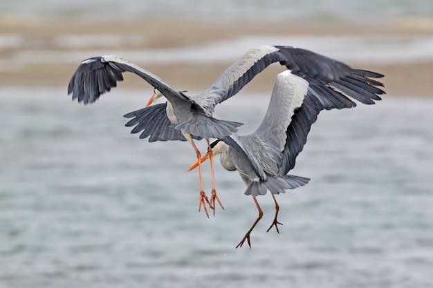 Deux hérons cendrés pêchant en vol