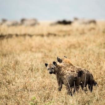 Deux hyneas debout, serengeti, tanzania, africa