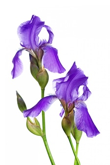 Deux iris violets