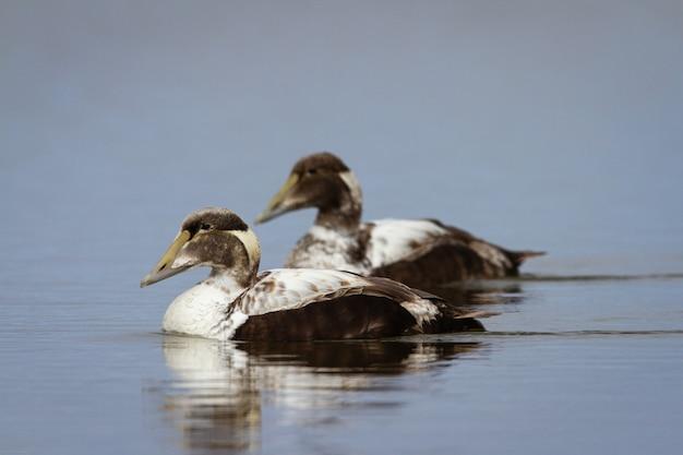 Deux jeunes canards eider à duvet mâles nageant dans un étang