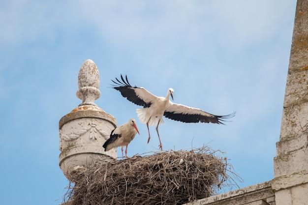 Deux jeunes cigognes blanches se préparant à voler au sommet des bâtiments.