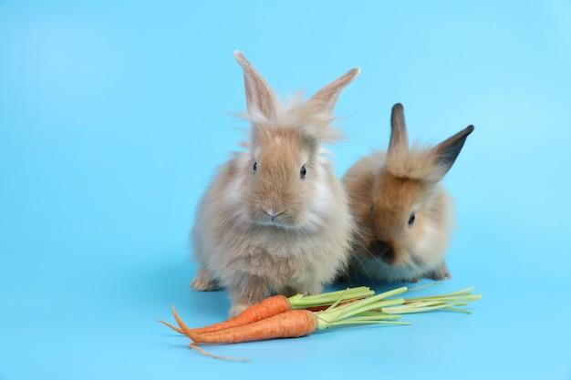 Deux jeunes lapin de pâques brun mignon avec des carottes
