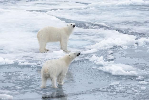Deux jeunes ours polaires sauvages jouant sur la banquise dans la mer arctique, au nord de svalbard