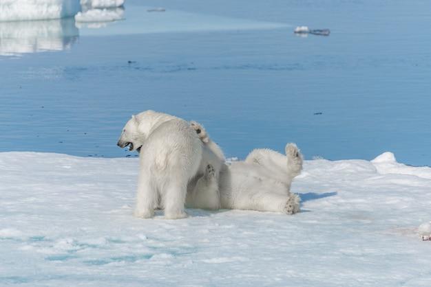 Deux jeunes oursons polaires sauvages jouant sur la banquise dans la mer arctique, au nord de svalbard