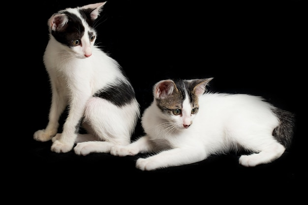 Deux jumeaux chaton domestique chat isolé sur fond noir