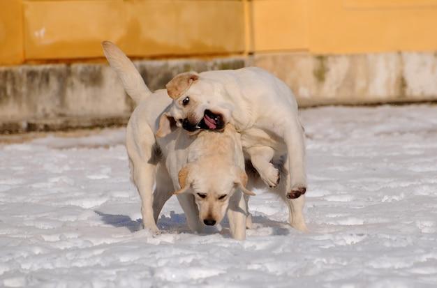 Deux labrador sur la neige en hiver.