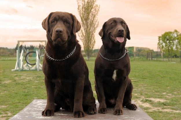 Deux labrador retriever