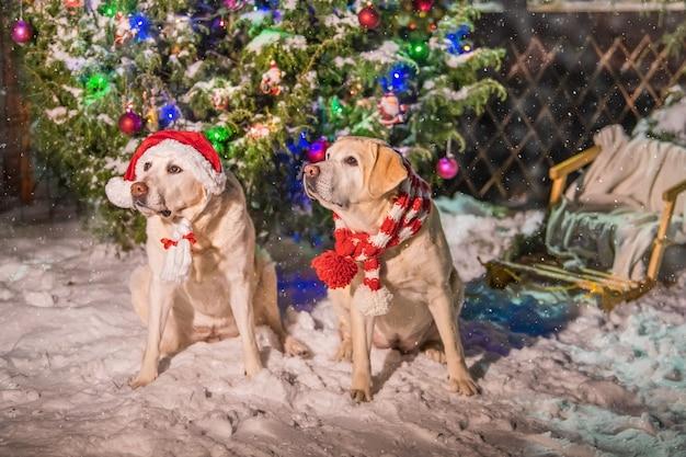 Deux labradors dorés en écharpes sont assis près d'un arbre de noël décoré lors d'une chute de neige en hiver dans la cour d'un immeuble d'appartements.