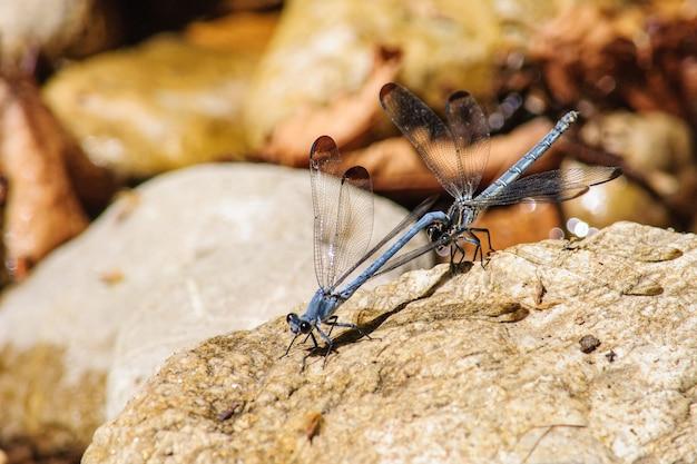 Deux libellules s'asseoir sur des pierres en gros plan