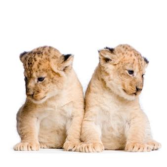 Deux lionceaux (3 semaines) isolés.