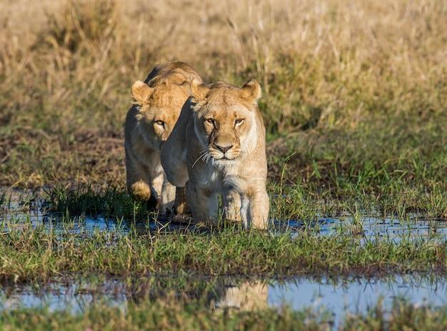 Deux lionnes passent le marais dans un gué