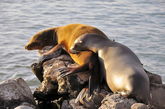 Deux lions de mer dormant sur un rocher au soleil