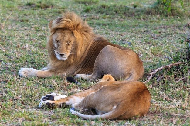 Deux lions se reposent après l'amour couple amoureux
