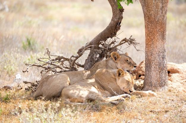 Deux lions se reposent à l'ombre d'un arbre