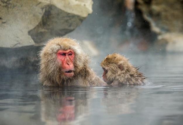 Deux macaques japonais sont assis dans l'eau dans une source chaude. japon. nagano. parc des singes de jigokudani.