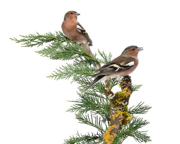 Deux mâles chaffinch commun - fringilla coelebs - perché sur une branche verte, isolé sur blanc