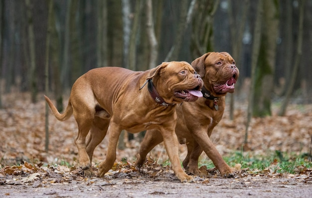 Deux mastiff français jouent dans le parc d'automne.