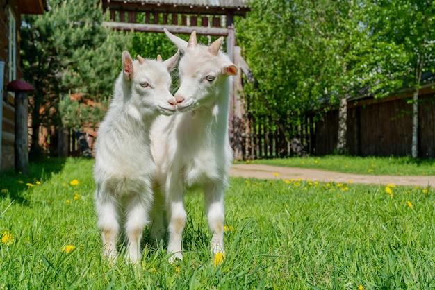 Deux mignonnes petites chèvres blanches. animal de compagnie d'été à la ferme.