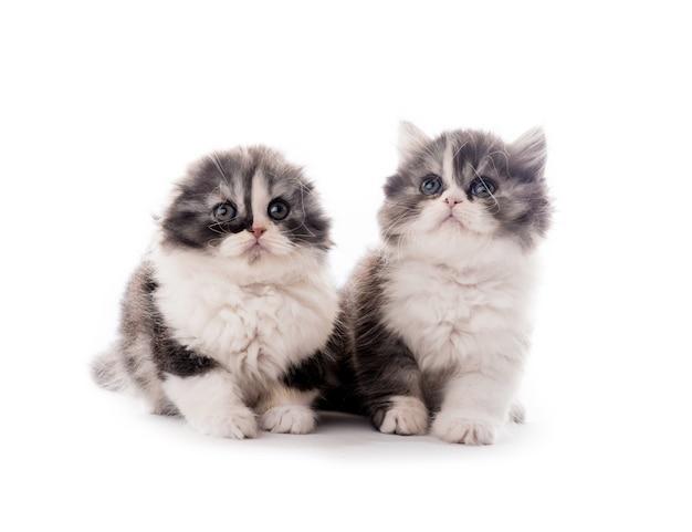 Deux mignons chatons de race écossaise couché isolé sur fond blanc