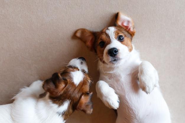 Deux mignons chiots jack russell terrier sur un beige.
