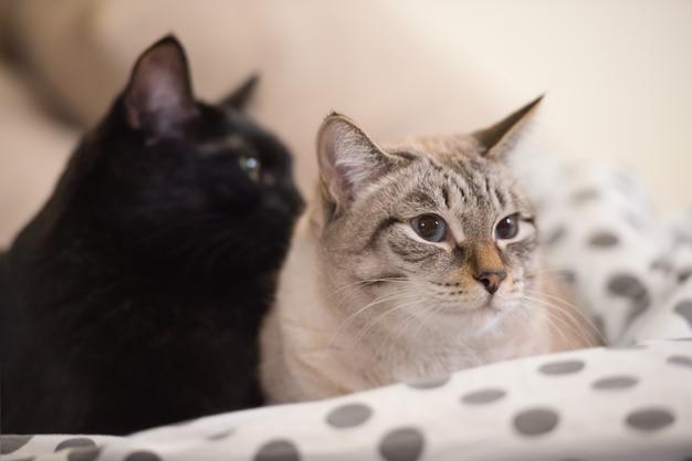 Deux mignons petits chats domestiques se blottir l'un avec l'autre