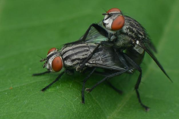 Deux mouches sur une feuille se reproduisant