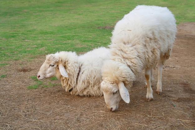 Deux moutons dans le champ d'herbe verte