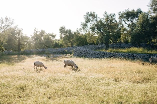 Deux moutons paissent dans l'herbe près de l'oliveraie