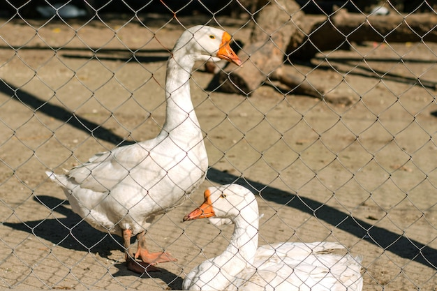 Deux oies blanches derrière la clôture en métal par une journée ensoleillée d'été.
