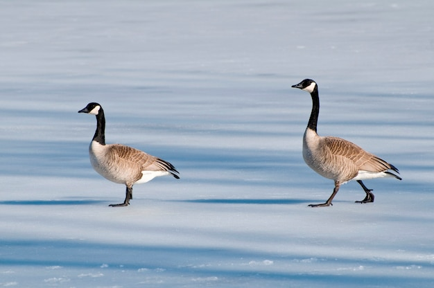 Deux oies canadiennes marchant sur un lac gelé