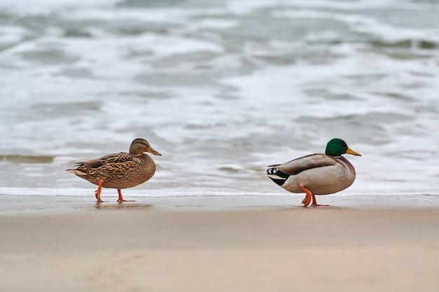 Deux oiseaux d'eau de colvert marchant près de la mer baltique