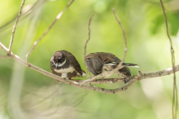 Deux oiseaux (malaysian pied fantail) dans la nature sauvage