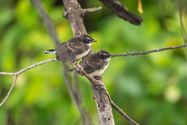 Deux oiseaux (pied fantail malaisien) dans la nature sauvage