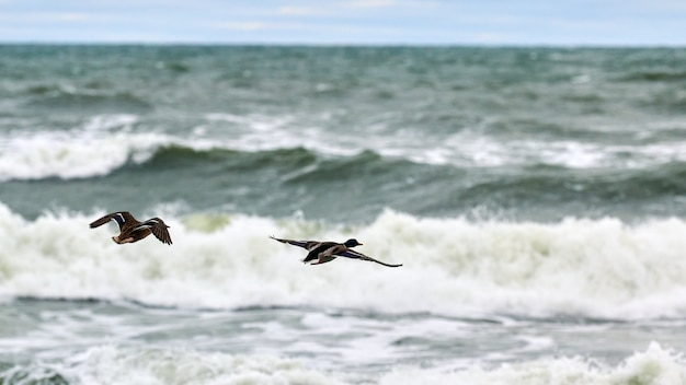 Deux oiseaux de sauvagine colvert volant au-dessus de l'eau de mer