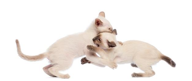 Deux, oriental, shorthair, chaton, jeu, combat