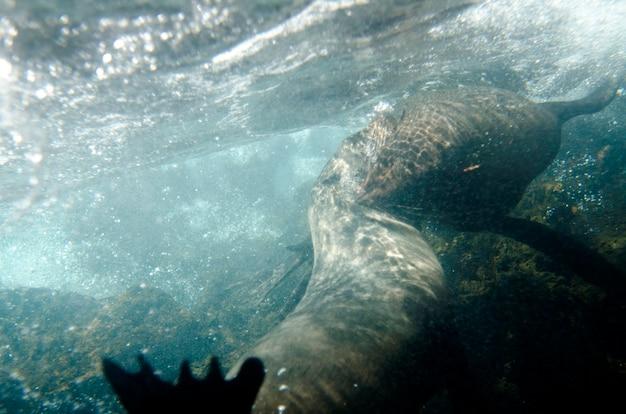 Deux otaries de galapagos (zalophus californianus wollebacki) nageant sous l'eau, baie de darwin, île de genovesa, îles galapagos, équateur