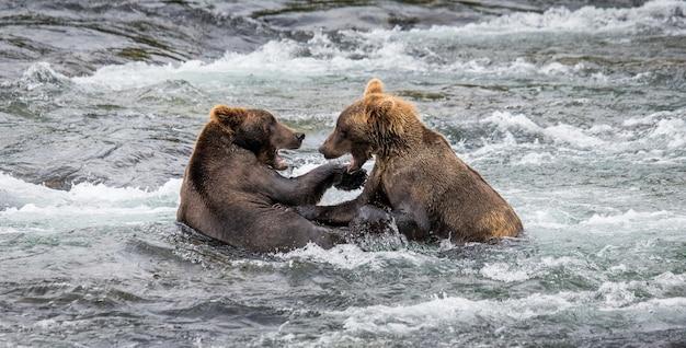 Deux ours bruns jouent l'un avec l'autre dans l'eau